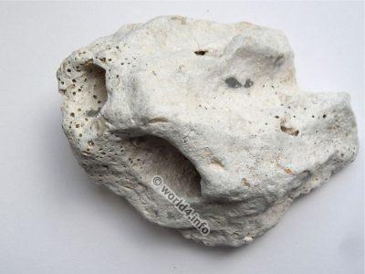Fossil, Petrification, fossilization, Prematura, Istria