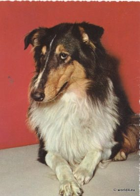 Rough Collie. British Dog Breed.