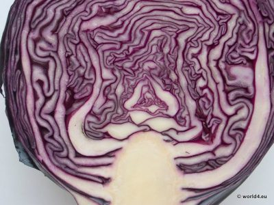 Red Cabbage. Structure and Color. Template Vegetable