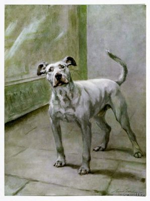The Bull Terrier. Dog breed from the UK. Appearance, character, history, coat of hair