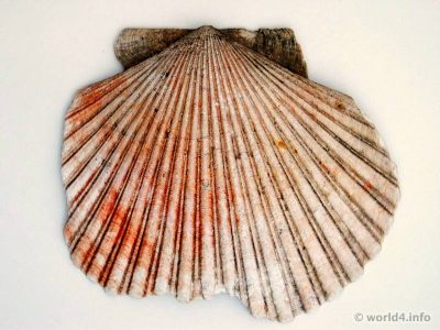 Venus clam. saltwater clams, marine bivalve molluscs.  cherrystone clam, littleneck clam, or hard-shell clam, and the southern quahog