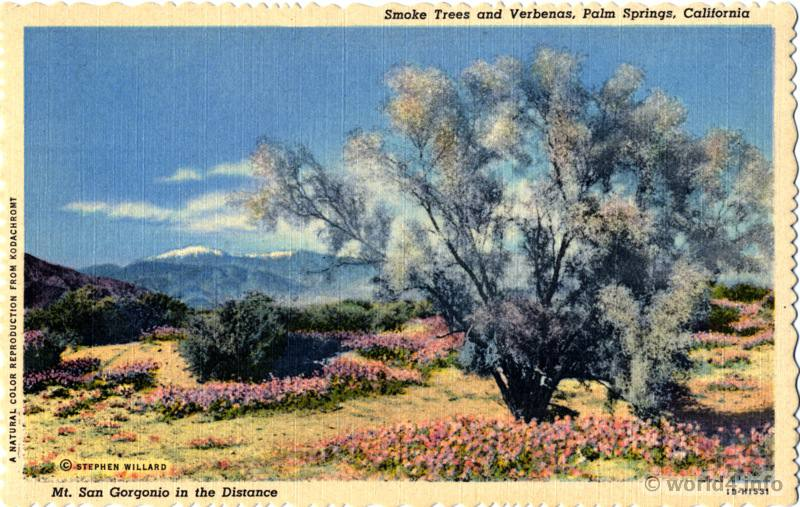 California Mt. Gorgonio, Palm Springs, Trees and Verbenas. Collectible Vintage postcard Stephen Willard.