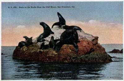 Seals on the Rocks. Near the Cliff House. San Francisco California 1910s. Rare Collectible Postcard.